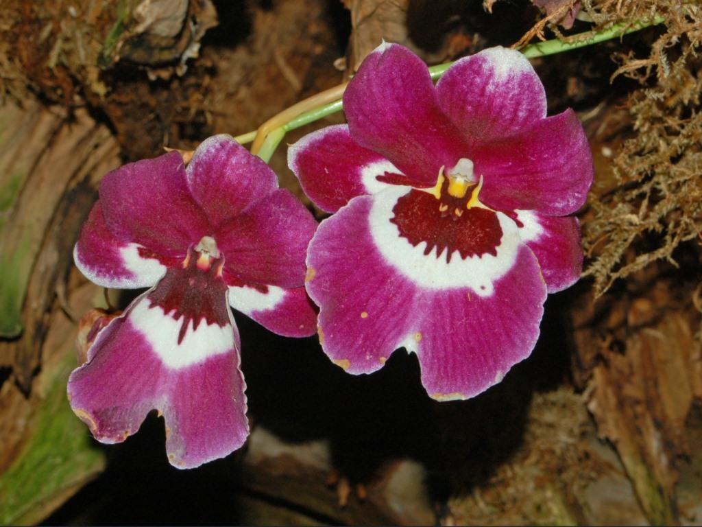 Orchidaceae - Miltoniopsis sp.-1