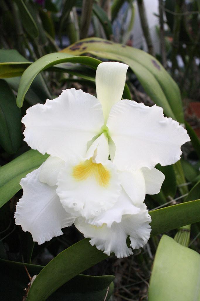 Flossie missouri botanical garden 2013 orchid show photo - Orchid show missouri botanical garden ...