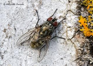 Dasyphora albofasciata (Macquart 1839) ♀