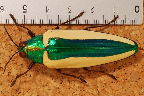 Jewel Beetle (Chrysochroa limbata) | by berniedup