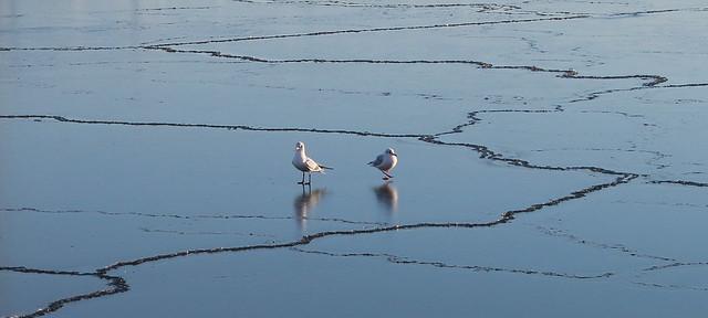 Måsar på is i hamnen
