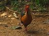 Sri Lanka Junglefowl (Gallus lafayetii) Ceylonhuhn by Werner Witte