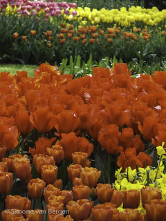 Red, Orange and Yellow Tulip Beds | by simonevanbergen