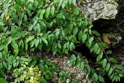 native vine places bahamas coppice phytolaccaceae dicots catisland trichostigmaoctandrum