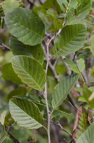 leaves leaf native shrub wetland betulaceae dicots alnusserrulata tagalder smoothalder hazelalder