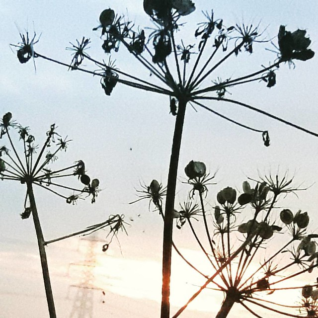 #pylon #seeds #nature #Rye #electricity