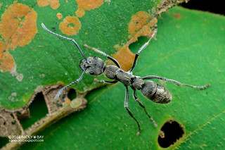 Fingerprint ant (Diacamma sp.) - DSC_0039