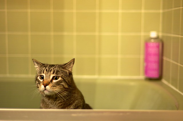 Tabby in the Tub, December 18, 2012
