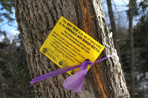 Emerald Ash Borer tree | by waitscm
