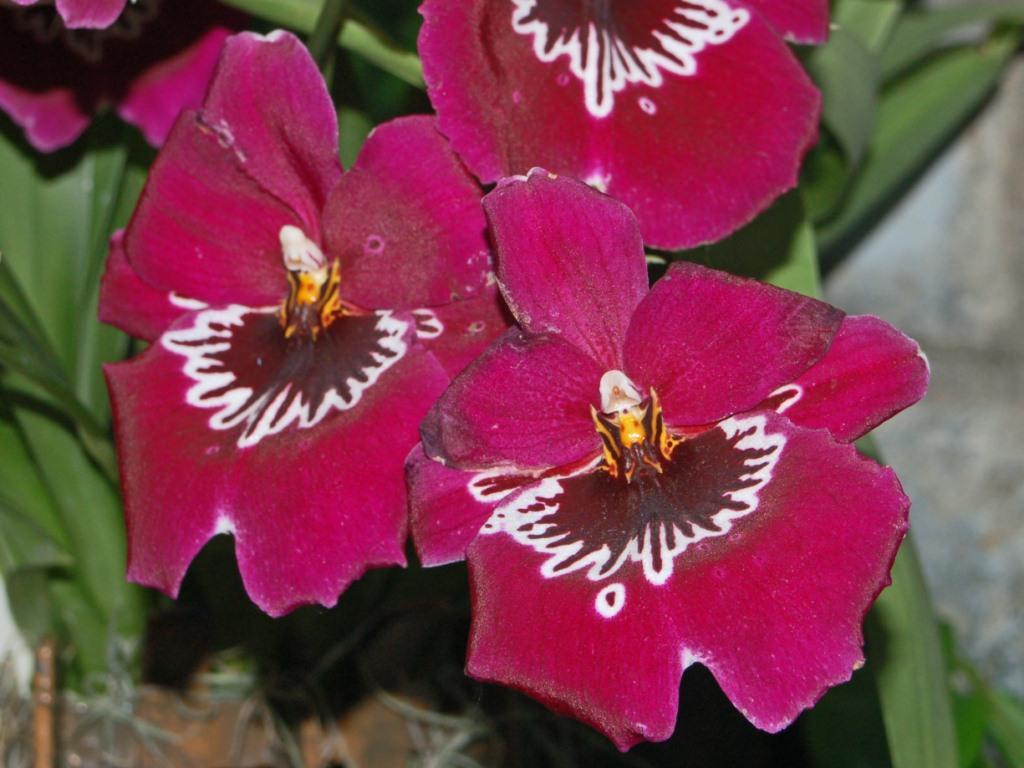 Orchidaceae - Miltoniopsis sp.