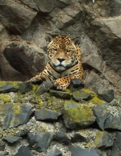 Jaguar Zoo Baños176