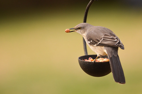 bird © birdfeeder northcarolina northernmockingbird backyardbird mockingbird garyburke wbu nikond5100 nikon300mmf4edifafs