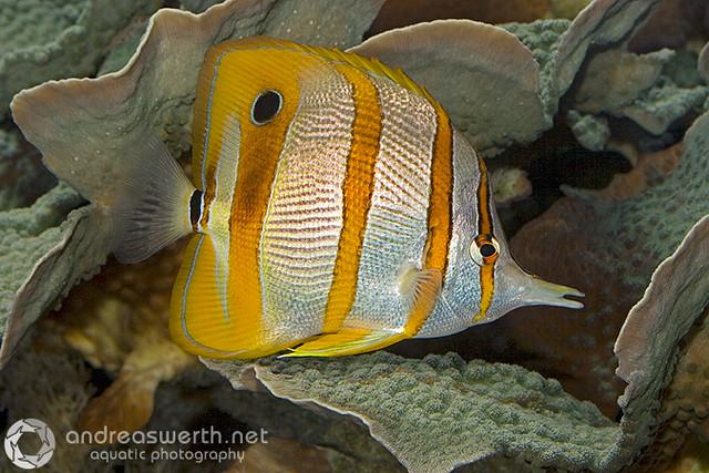 Copperbanded Butterflyfish - Kupferstreifen-Pinzettfisch - Chelmon rostratus