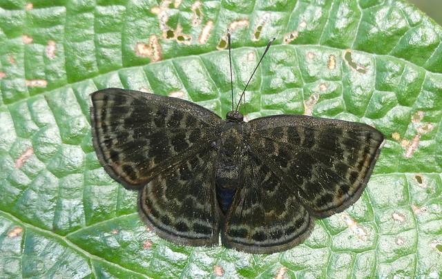 Pirascca arbuscula, female P1030453