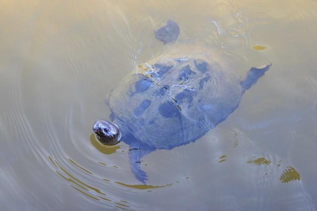 A curious turtle - Pilanesberg, South Africa, 2012