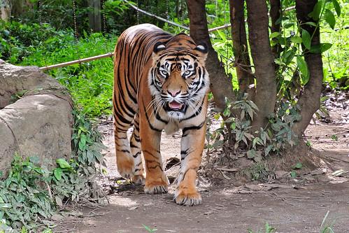 スマトラトラ (Sumatran Tiger) | by Dakiny