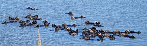 Sea Otter raft | by K Schneider