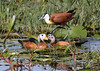 African Pygmy Geese and African Jacana by Wild Chroma