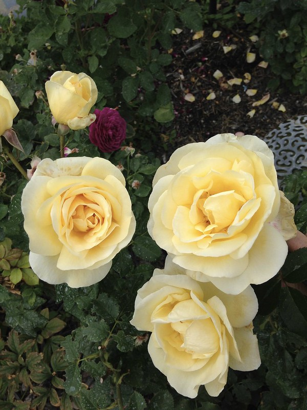 Rose Sunshine Daydream Grandiflora and magenta rose in the shadows is Ebb Tide a Florabunda.