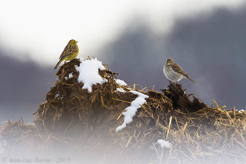 Water Pipit (Anthus spinoletta) and Yellowhammer (Emberiza citrinella) | by Jeluba