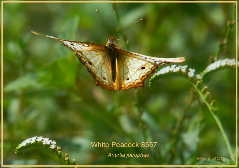 White Peacock Resaca de la Palma Brownsville Texas Butterfly photography by Ron Birrell; DSC_8557