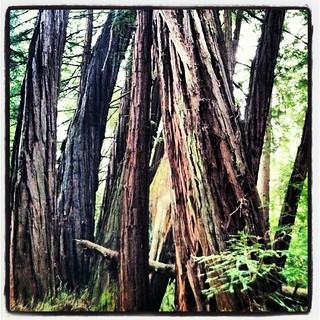 Nisene marks park Twisted grove