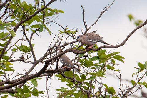 birds animals ecuador loja animalia vertebrates columbidae zapotillo zenaidameloda pigeonsanddoves westperuviandove