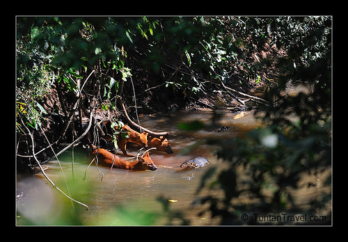 Dholes vs Water Monitor | by tontantravel