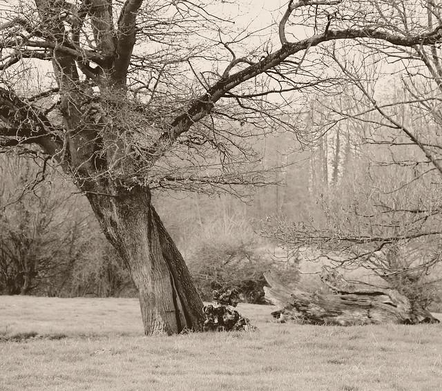 Arbre 4 ( Vieux chêne - Old oak )