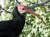 Southern Bald Ibis by Rohaum Hamidi