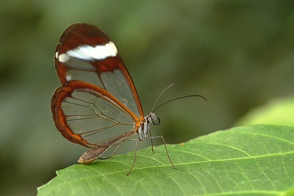Glasswinged Butterfly Greta Oto Alias 0591 Flickr