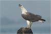 White-bellied Sea Eagle by Aravind Venkatraman