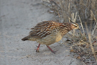 crested francolin, Kruger NP, South Africa | by cirdantravels (Fons Buts)