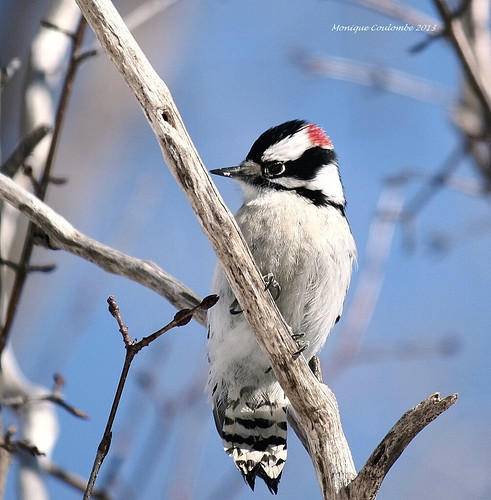 Pic mineur - Downy  Woodpecker | by Monique Coulombe