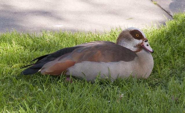 Egytian Goose