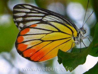 Bangkok Butterfly | by WeTours