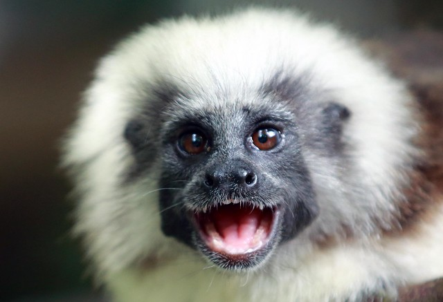 J77A3880 -- A cute, tiny Monkey in Singapore Zoo