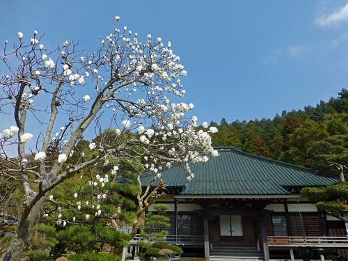 2013/03/17 (日) - 13:13 - 大長寺 - モクレン
