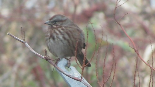 Song Sparrow, Edmonds Marsh, WA 1/19/13