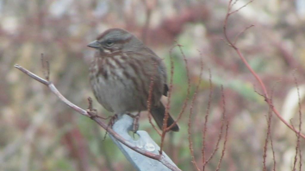 Song Sparrow, Edmonds Marsh, WA 1/19/13 on Flickr