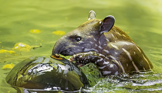 The baby tapir playing with the ball | by Tambako the Jaguar