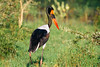 Saddle-billed Stork (Ephippiorhynchus senegalensis) by emiliechenphotography