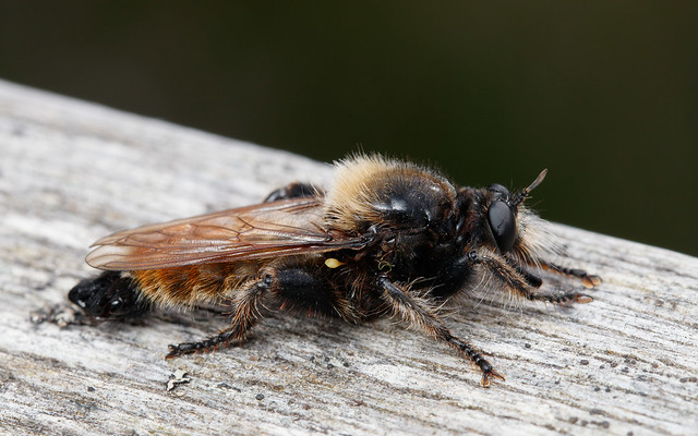 Bee-mimic robber fly (Laphria flava)