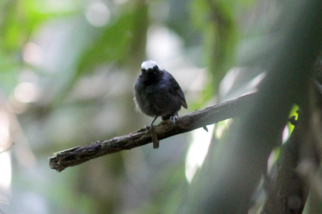 White-browed Antbird 121116 Myrmoborus leucophrys