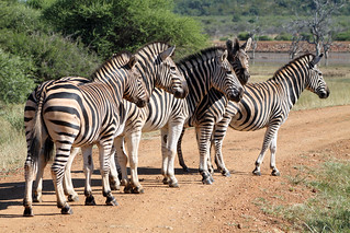 Zebras on a dam wall | by flowcomm