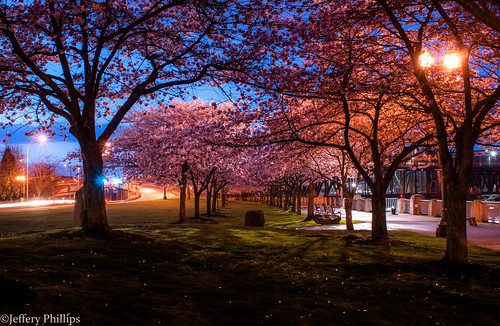 oregon portland cherry blossoms bluehour waterfrontpark tommccall