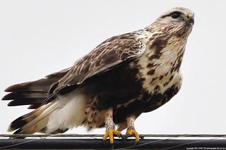 2015-12-02 Rough-legged Hawk (02) (1024x680)