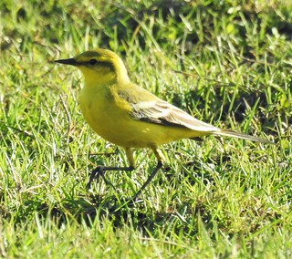 Yellow Wagtail on Green Grass | by Gilli8888
