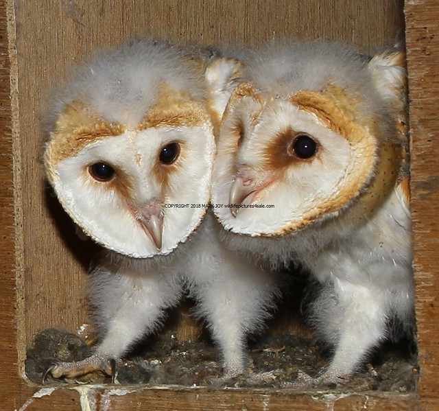 85. Barn Owl chicks (Tyto alba) 30.7.2018
