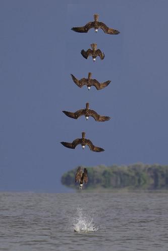 outdoor seaside shore sea sky water nature wildlife 7dm2 ocean canon florida bird bif flight prey raptor